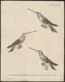 Trochilus mesoleucus - 1700-1880 - Print - Iconographia Zoologica - Special Collections University of Amsterdam - UBA01 IZ19100297.tif