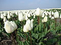 Tulpenroute 2012-034.JPG