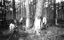 A black and white photograph of a black youth and two black men harvesting sap from pine trees in the woods