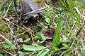 Turtle crawling through the grass (17299455022).jpg