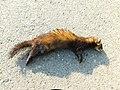 Tvor (Mustela putorius) The European polecat.jpg