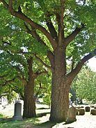 Two Old Sassafras Trees, Green-Wood Cemetery, Brooklyn, NY - September 19, 2015
