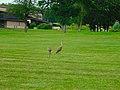 Two Sandhill Cranes - panoramio (2).jpg