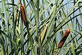 Typha latifolia 7642.jpg