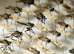 Entomological equipment for mounting and storage - Directly-pinned Diptera. Though most of these specimens are at the correct height, some have been pinned incorrectly by placing the pin on the centre line, damaging characters on both sides of the thorax.
