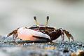 Uca sp., fiddler crab - Tarutao National Marine Park (16668955211).jpg