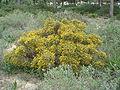 Ulex australis.JPG