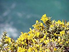 Ulex densus habitat.jpg