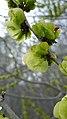 Ulmus pumila green fruits 2.jpg