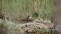 Une échasse blanche (12).JPG