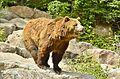 Ursus arctos horribilis - Zoo Sauvage de Saint-Félicien - 2016-07-19 (2).jpg