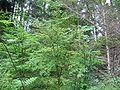 Vaccinium parvifolium.jpg