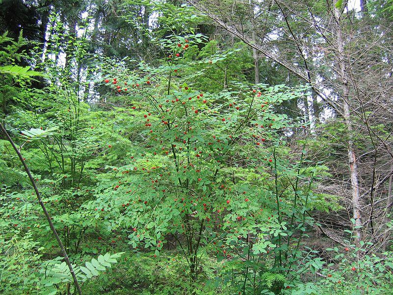 Vaccinium parvifolium - red huckleberry