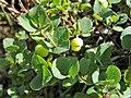 Vaccinium uliginosum. Arandanera pruna.jpg