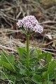 Valeriana dioica - img 17399.jpg