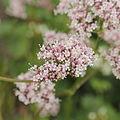 Valeriana sambucifolia-IMG 4284.jpg