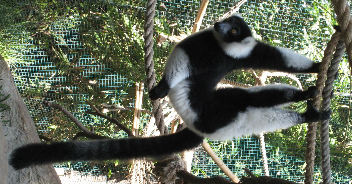 Black White Clipart R Large Pic: Black-and-white Ruffed Lemur