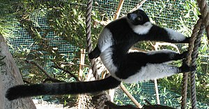 Black-and-white ruffed lemur - Image: Varecia variegata suspensory posture 2