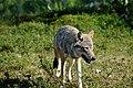 Varg fotograferad pa Polar Zoo Norge (4).jpg