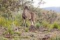 Venado de cola blanca - White tailed deer.JPG