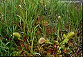 Venus Flytrap Dionaea muscipula (26182266790).jpg