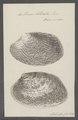 Venus litterata - - Print - Iconographia Zoologica - Special Collections University of Amsterdam - UBAINV0274 077 12 0029.tif
