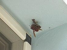 Vespa orientalis.queen.jpg