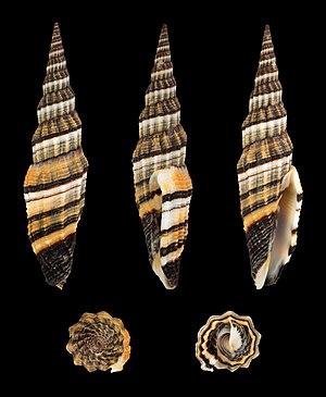 Vexillum citrinum (Gmelin, 1791), Queen Mitre, brown form; Length 7.3 cm; Originating from Madagascar.
