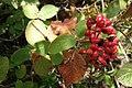 Viburnum lantana, Sambucaceae 01.jpg