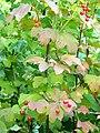 Viburnum opulus. Piernu (frutos).jpg