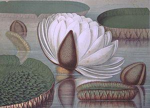 William Sharp (lithographer) - Image: Victoria regia – William Sharp