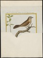 Vidua superciliosa - 1700-1880 - Print - Iconographia Zoologica - Special Collections University of Amsterdam - UBA01 IZ15900099.tif