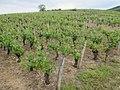 Vigne de Louis Pasteur 028.jpg