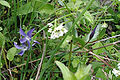 Vinca-herbacea1-crop.jpg