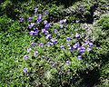 Viola calcarata08072002vuegénérale.JPG