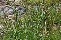 Viscaria vulgaris in Jardin Botanique de l'Aubrac.jpg