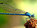 Vivid Dancer Damselfly (Male) (8013767050).jpg