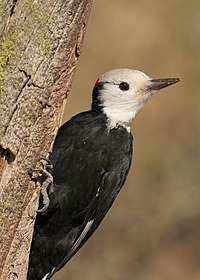 WH Woodpecker male 4 wray (8272948084).jpg