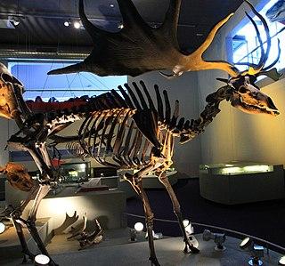 <i>Megaloceros</i> An extinct genus of mammals belonging to the [[deer]], muntjac, roe deer, reindeer, and moose family of ruminants