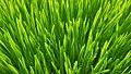 Weizengras - Triticum aestivum.jpg