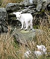 Welsh Lamb - geograph.org.uk - 221238.jpg