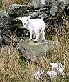 Welsh Lamb - geograph.org.uk - 221238.jpg