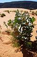 Welsh milkweed (Asclepias welshii) Habitat (6307381392).jpg