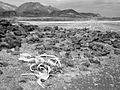 Welwitschia Plant, Brandberg in back (3691775546).jpg