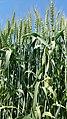 Wheat green.jpg