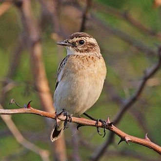 Whinchat - adult female, Uganda