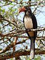 White-crested Hornbill (Tropicranus albocristatus) (31113883512).jpg