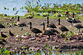 White-faced Whistling Duck - Yaguaso Cariblanco (Dendrocygna viduata) (9732945007).jpg