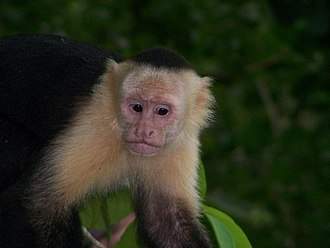Panamanian white-faced capuchin - In Manuel Antonio National Park, Costa Rica
