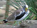 White-headed Lapwing RWD.jpg